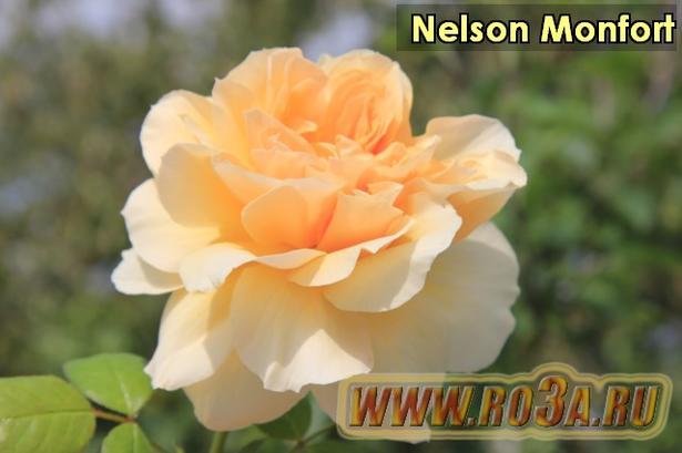 Роза Nelson Monfort Нельсон Монфорт. Полупл.