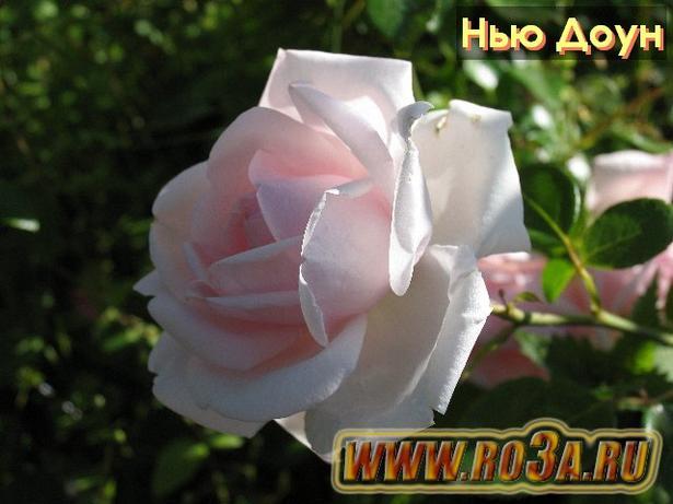 Роза New Dawn Нью Доун Новая заря