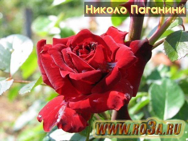 Роза Niccolo Paganini Николо Паганини