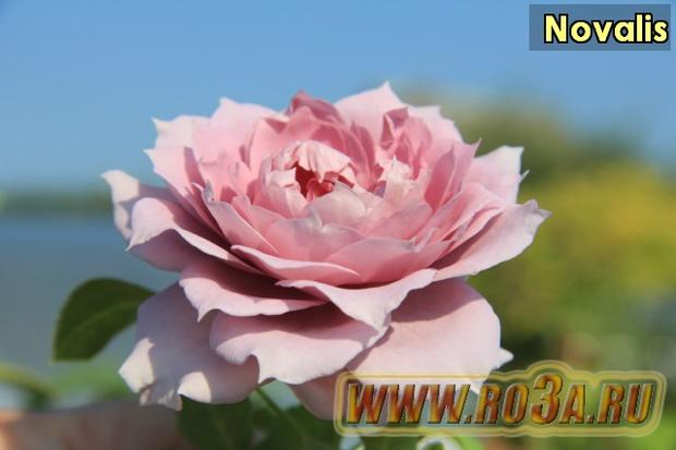Роза Novalis Новалис