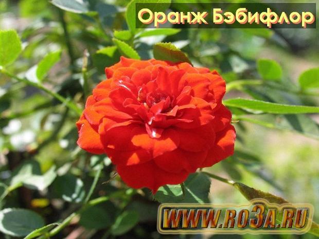 Роза Orange Babyflor Оранж Бэбифлор