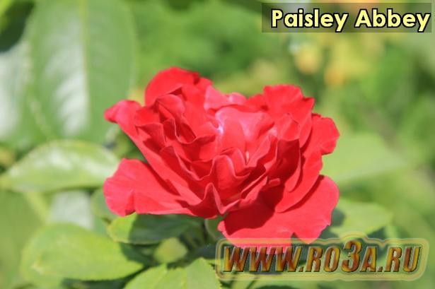 Роза Paisley Abbey Пэйсли Эбби