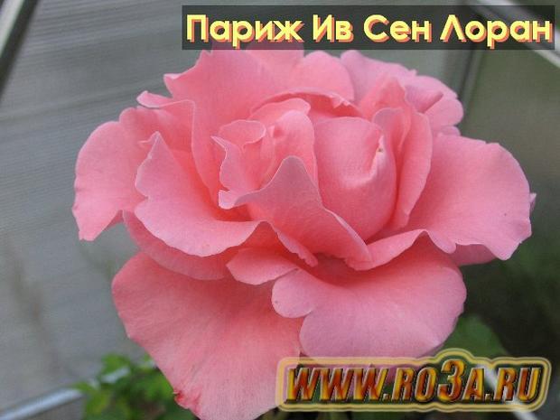 Роза Paris D′yves Saint Laurent Париж Ив Сен Лоран
