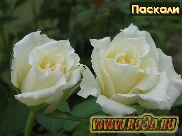 Роза Pascali Паскали