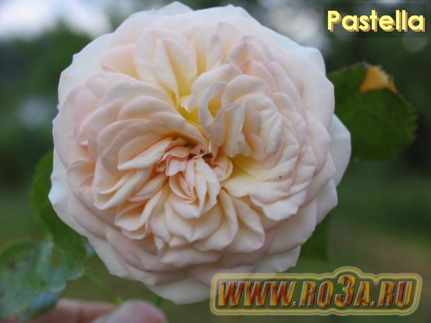 Роза Pastella Пастелла