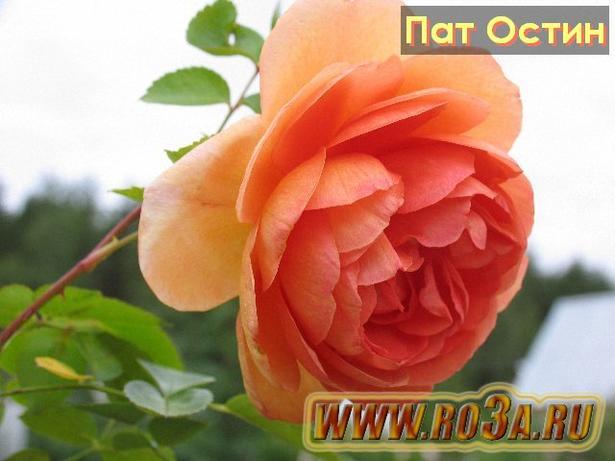 Роза Pat Austin Пат Остин