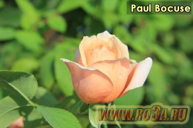 Роза Paul Bocuse Поль Бокюз. Полупл.
