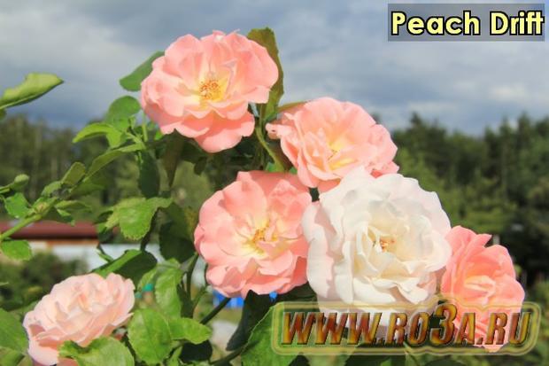 Роза Peach Drift Пич Дрифт