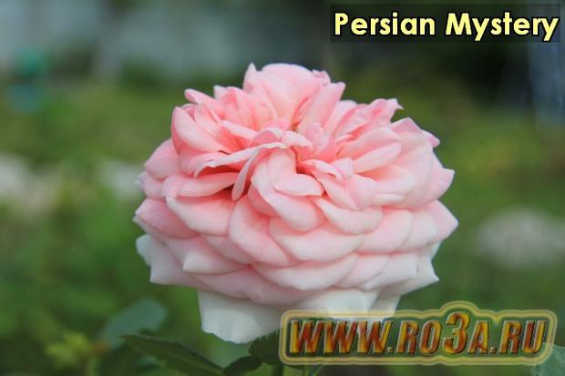 Роза Persian Mystery Персиан Мистери