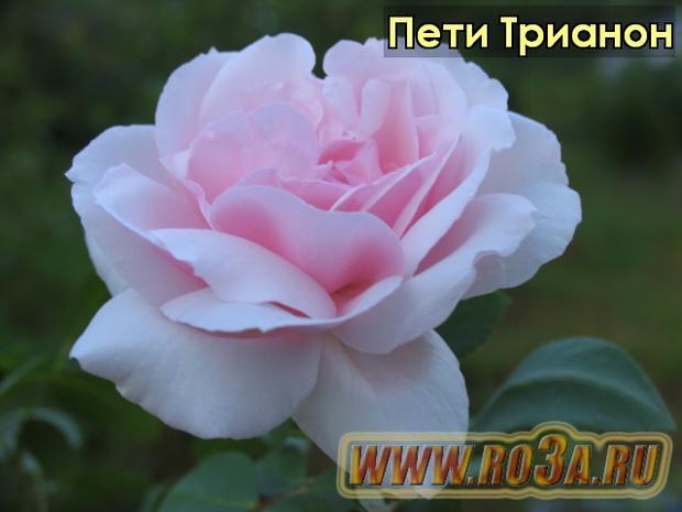Роза Petit Trianon Пети Трианон