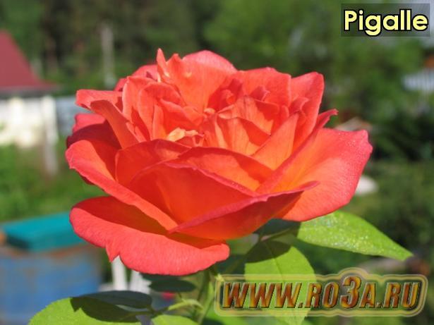Роза Pigalle Пигалле