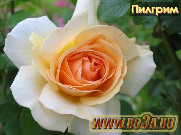 Роза The Pilgrim Пилгрим
