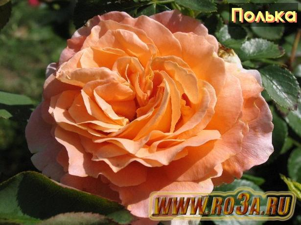 Роза Polka 91 Полька Polka