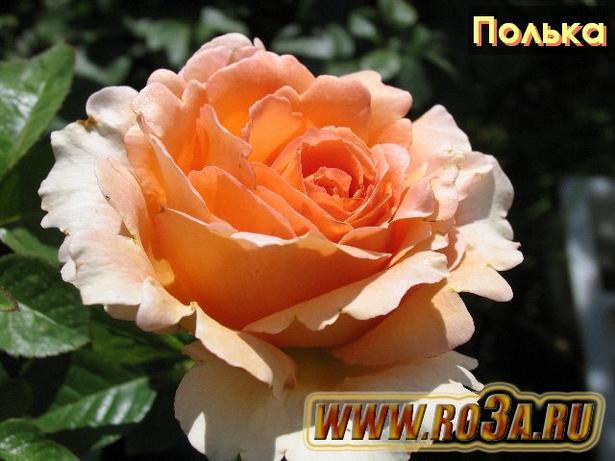 Роза Polka 91 Полька