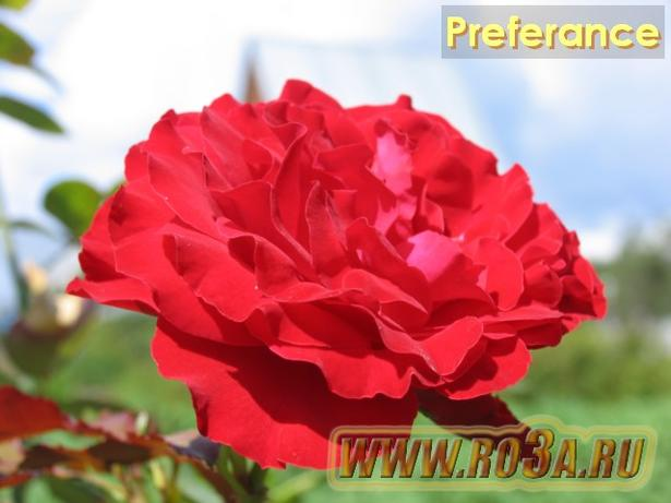 Роза Preferance Преферанс