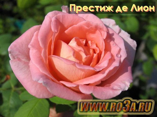Роза Prestige de Lyon Престиж де Лион