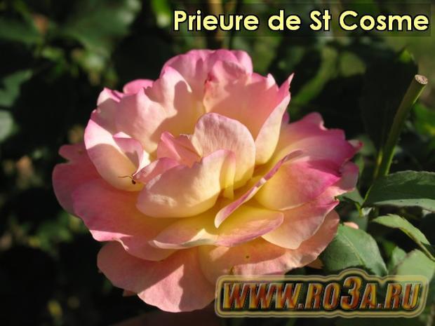 Роза Prieure de St Cosme Космэ