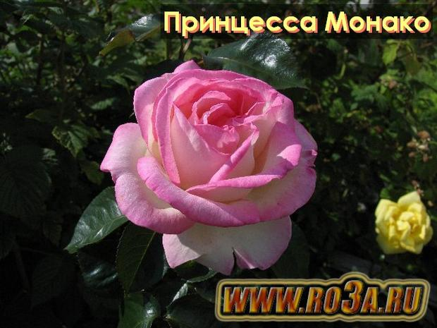 Роза Princesse De Monaco Принцесса Монако