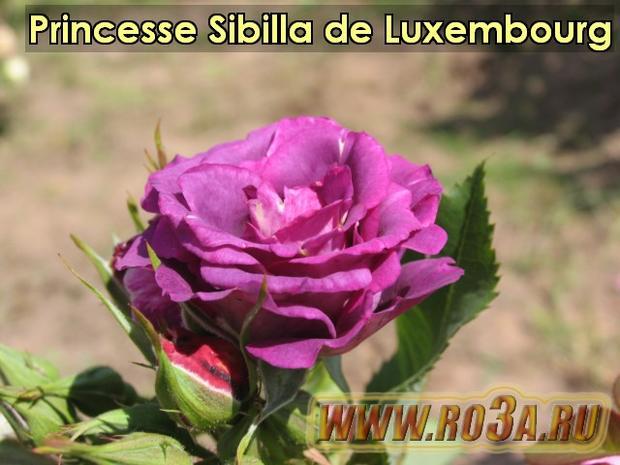 Роза Princesse Sibilla de Luxembourg Принцесса Сибилла