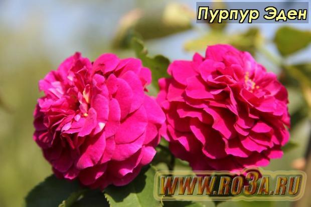 Роза Purple Eden Пурпур Эден Ebb Tide</li>