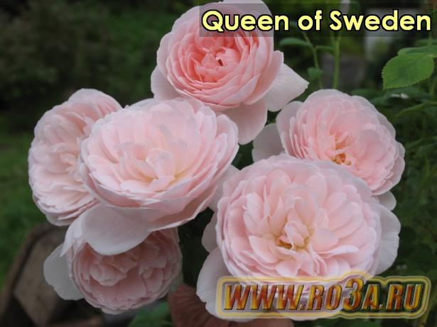 Роза Queen of Sweden Куин оф Шведен