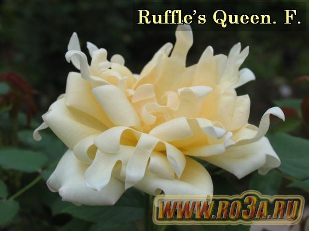 Роза Ruffle′s Queen Раффлс Квин