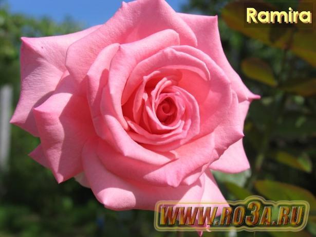 Роза Ramira Рамира