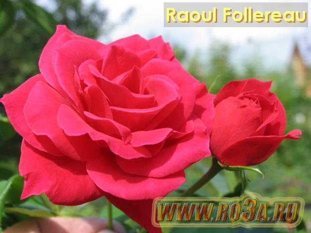 Роза Raoul Follereau Рауль Фоллеро