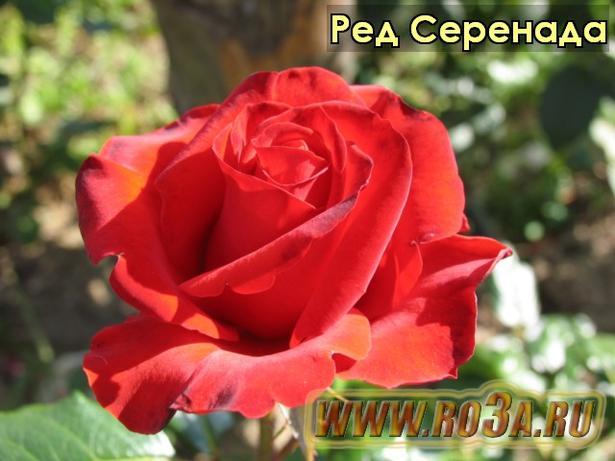 Роза Red Serenada Ред Серенада