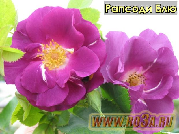 Роза Rhapsody in Blue Рапсоди Блю (Парковая)