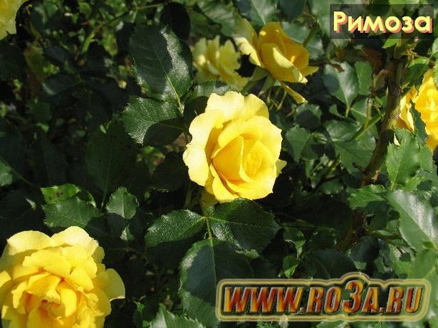 Роза Rimosa Римоза