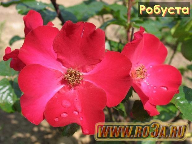 Роза Robusta Робуста