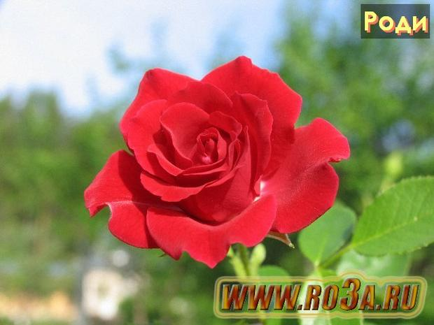 Роза Rody Роди