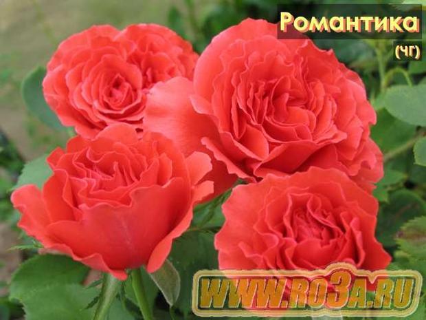 Роза Romantica Романтика