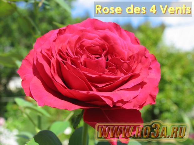 Роза Rose des 4 Vents Роза 4-х ветров
