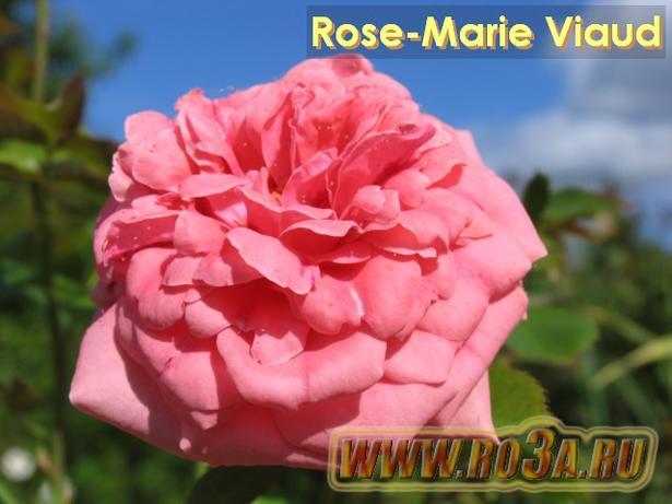 Роза Mary Rose Мари роз