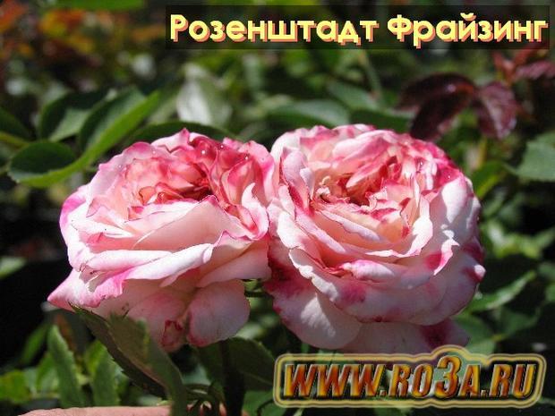 Роза Rosenstadt Freising Розенштадт Фрайзинг