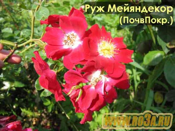 Роза Rouge Meillandecor Руж Мейяндекор