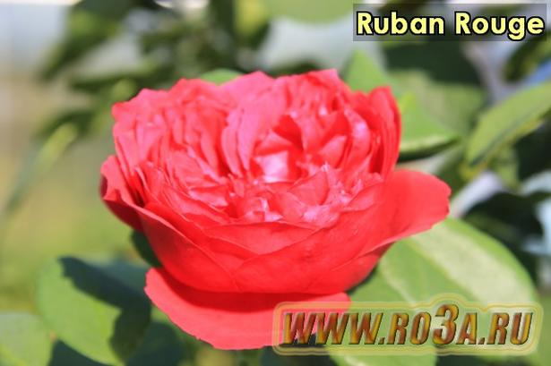 Роза Ruban Rouge Рубан Руж