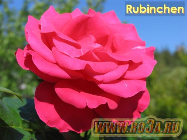 Роза Rubinchen Рубинхен