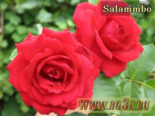 Роза Salammbo Саламмбо