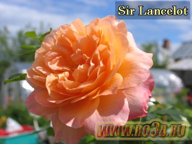 Роза Sir Lancelot Сэр Ланселот