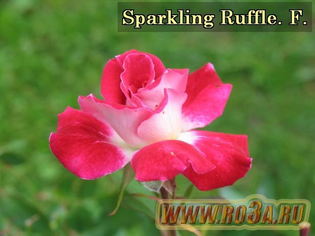 Роза Sparkling Ruffle Спарклинг Раффлс