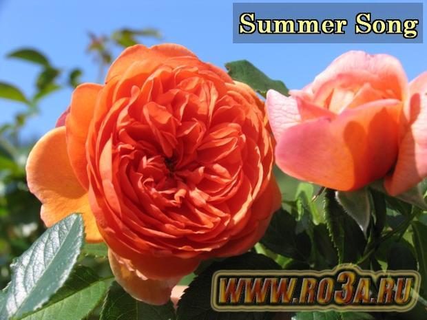 Роза Summer Song Саммер Сонг