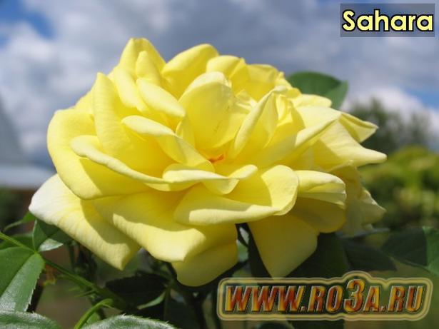 Роза Sahara Сахара