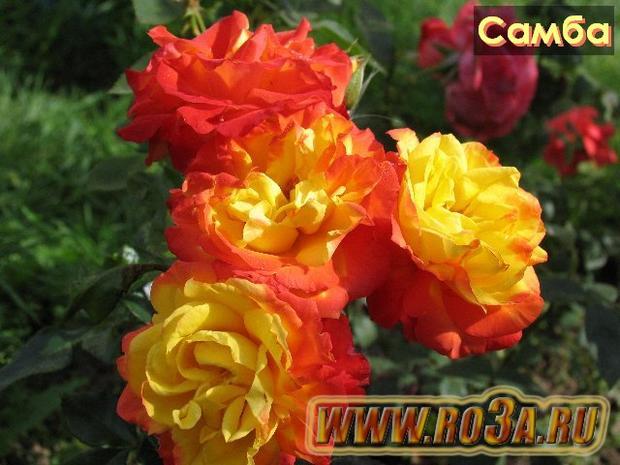 Роза Samba Самба