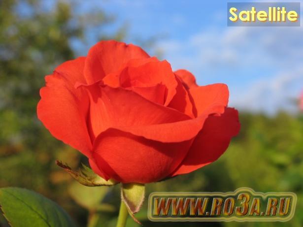Роза Satellite Сателлит
