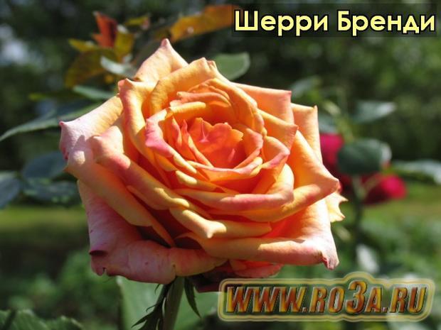 Роза Cherry Brandy Шерри Бренди