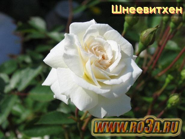 Роза Schneewittchen Шнеевитхен (Полуплетистая)
