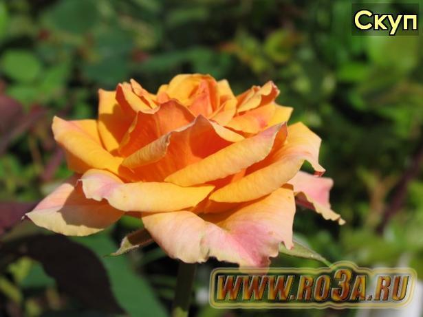 Роза Scoop Скуп